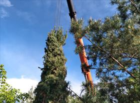 Продажа и посадка крупномерных деревьев
